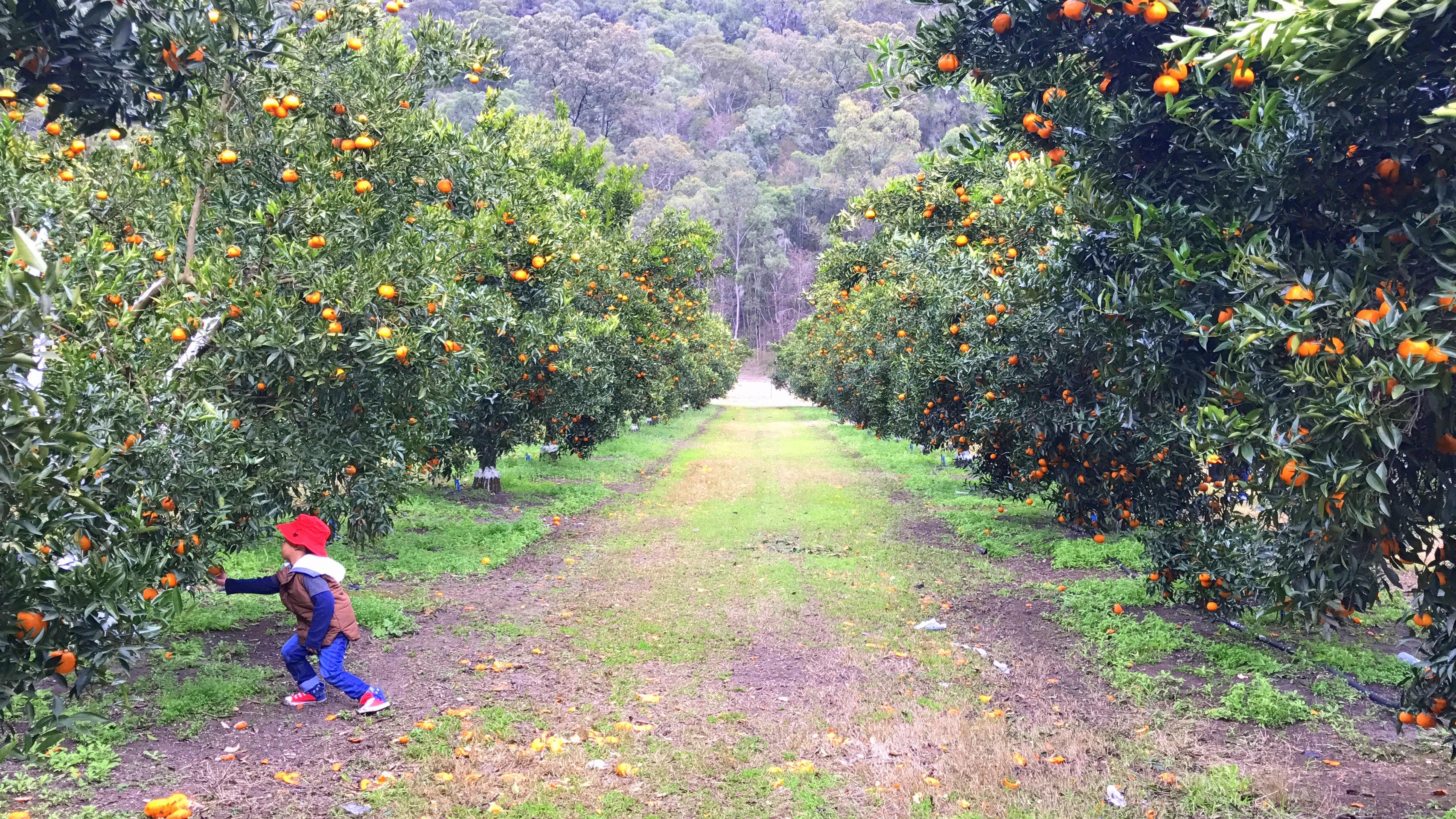 Mandarin Picking at Watkins Family Farm