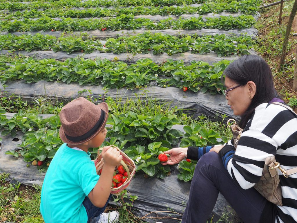 Strawberry picking at La Trinidad Baguio Philippines 2018